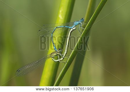 Mating Wheel of Azure Bluet (Coenagrion puella) couple on reed