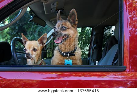 a small chihuahua and a pug mix in a red vehicle looking out the window waiting for the owner to return
