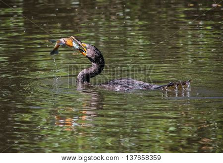 a cormorant with a bluegill in its beak in a wildlife park with a large pond  poster