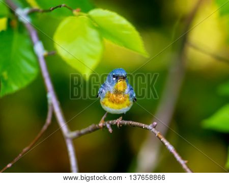 The Northern Parula is a handsome and familiar warbler of the northern forests. It migrates to the boreal forests of Quebec Canada in summer where it nests and returns south for the winter.