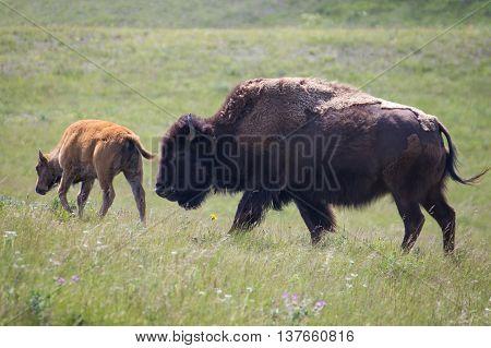 Bison and cub at Bison Paddock Loop Road, Waterton Lakes National Park