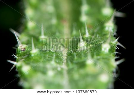 Bristly oxtongue (Picris echioides) leaf. Spines on leaf of Prickly plant in the daisy family (Asteraceae)