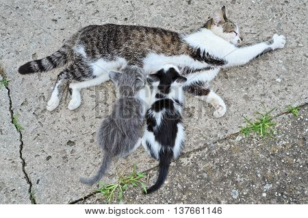Mother cat breastfeeds her kittens. Beautiful pets.
