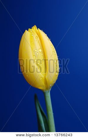 Dew Drops On A Tulip Blossom