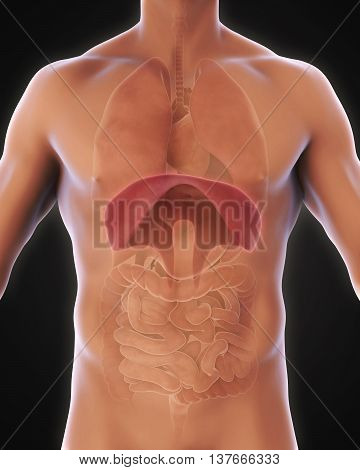 Human Diaphragm Anatomy Illustration . 3D rendering