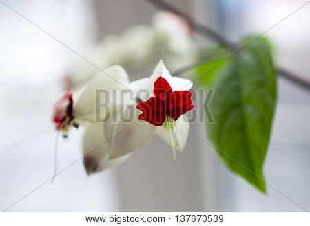 White flowers with a large papery husk derived from the calyx.