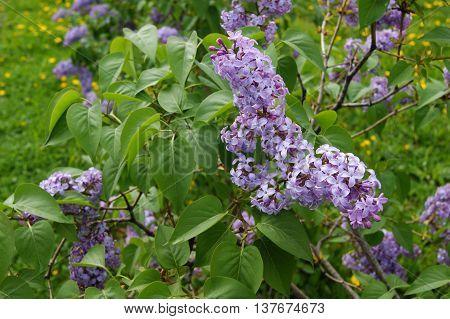lilac, bush, large, cultivar, bloom, blooms, decorative, many, much, lot, multi, splendid, purple, leaves, petal, beautiful, nice, nature, plant, tree, spring, season, flora, flowers, tender