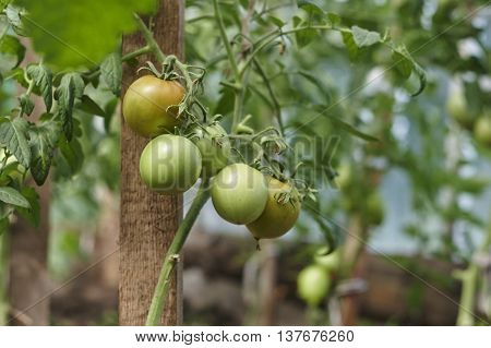 Tomato green fruit on seedling in hothouse close up