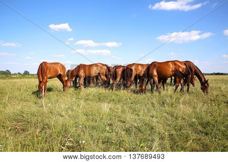 Young anglo arabian mares and foals grazing on the meadow summertime