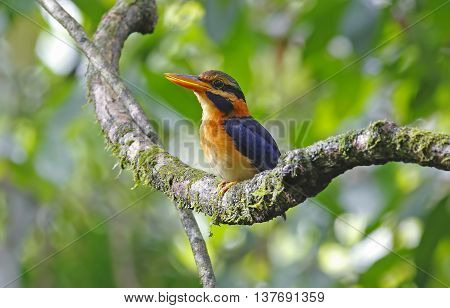 Rufous-collared Kingfisher Actenoides concretus Male Birds of Thailand