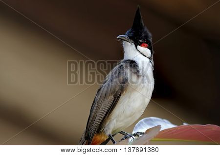 Red-whiskered bulbul Pycnonotus jocosus Birds of Thailand