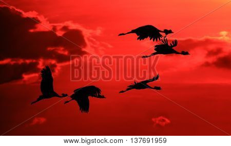 Flock of crowned cranes flying into the sunset