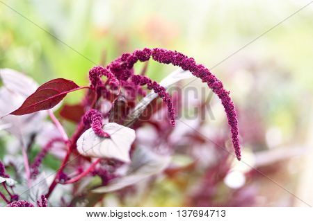 Red astilbe or meadowsweet with selective focus and copy space. Celosia argentea with defocused background.