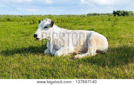 White ruminating cow lazily lying alone in the grass of a meadow in a Dutch polder. It's a sunny day in the summer season.