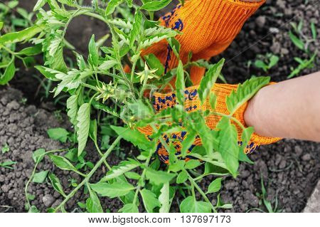 Planting Tomatoes In The Garden Working In The Garden In The Summer, Taking Care Of Flowers And Plan