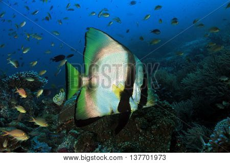 Shaded Batfish (Platax Pinnatus aka Pinnate Batfish Dusky Batfish Red-faced Batfish) Swimming over a Coral Reef. Dampier Strait Raja Ampat Indonesia