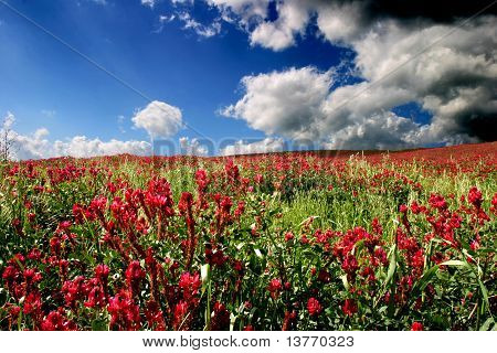 Field Of Red Clover In Sicily