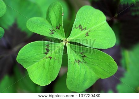 Oxalis deppei Iron Cross is also known as the Lucky Clover