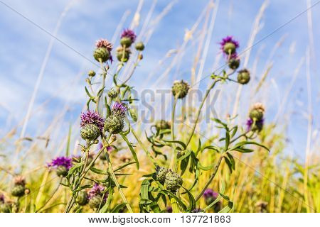 Flowering Plant In The Meadow.