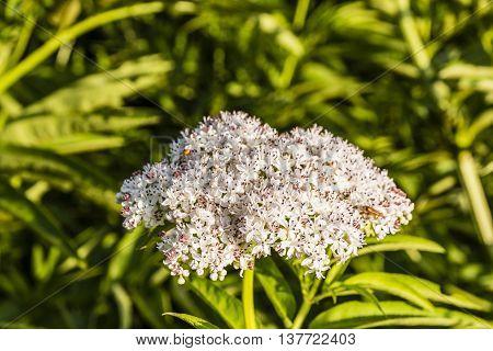 Flower Inflorescence - Sambucus Ebulus L..