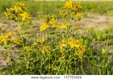 Yellow Flowering Plant Hypericum Perforatum.