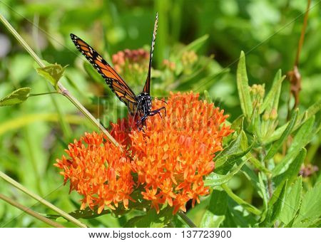 A monarch butterfly on milkweed in the garden