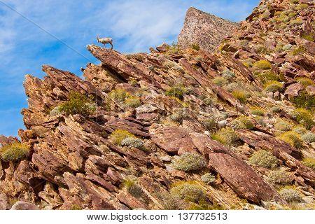 Desert Bighorn Sheep in Anza Borrego Desert State Park. California USA