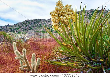 Desert wildflowers and cactus in bloom in Anza Borrego Desert State Park. California USA