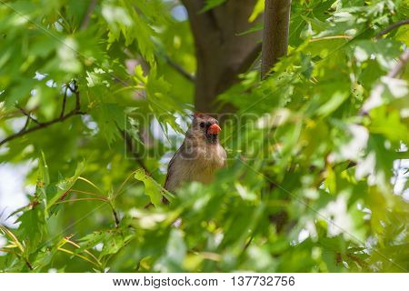 Female Northern Cardinal bird (Cardinalis cardinalis) hiding in lush greenery of maple tree. Selective focus. poster