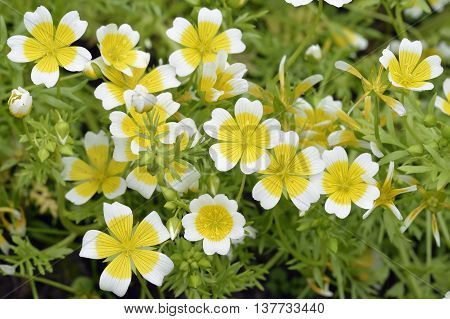 Douglas Meadowfoam or Poached Egg Plant - Limnanthes douglasii