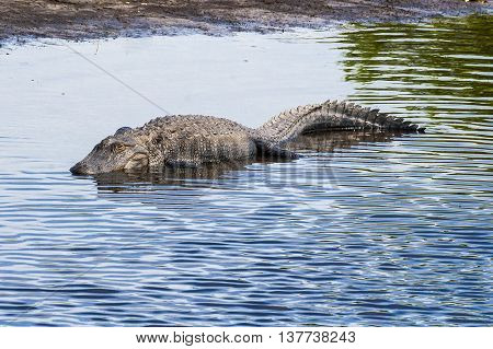 Large alligator submerged in river at Florida Myakka River State Park.