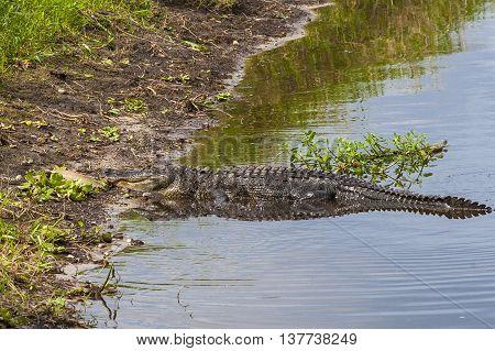 Large alligator submerged in river at Florida Myakka River State Park.