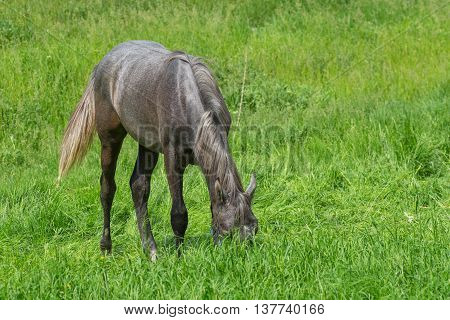 Young horse diving into fresh spring grass