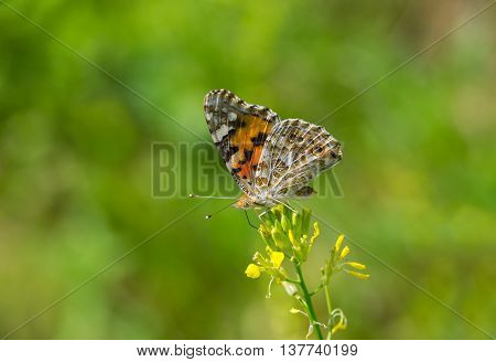 Painted Lady (Vanessa cardui) butterfly on a wild flower