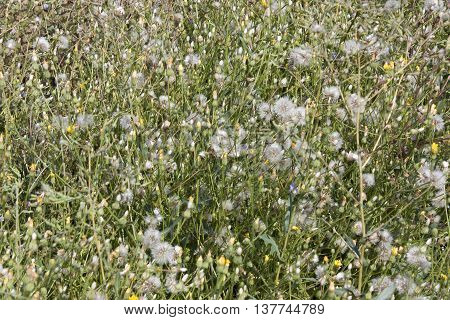 Background from sow thistle. Flowers and seeds