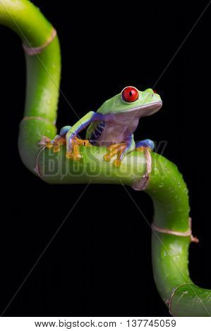 Red-Eyed Amazon Tree Frog (Agalychnis Callidryas) on twisted green Bamboo