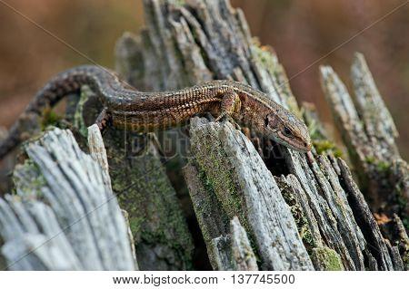 Viviparous Lizard (Zootoca Vivipara) in crags of a tree root