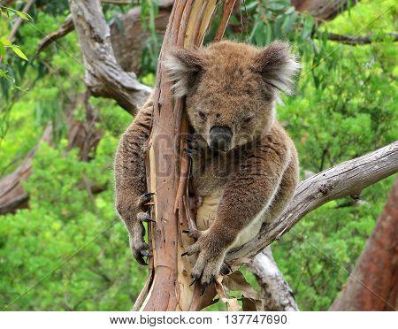 Koala bear relaxing a tree in Australia
