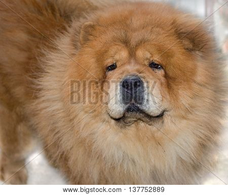 Portrait of a red dog the breed Chow Chow