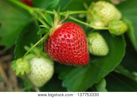 strawberry ripen in field close-up macro view focus