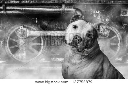 Staffordshire Bull Terrier In Fron Of Old Train Holding A Wrench