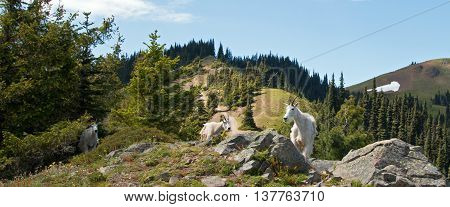 Mother Nanny Goats descending Hurricane Ridge in Olympic National Park in Washington State USA