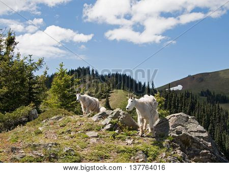 Mother Nanny Goats walking down Hurricane Hill in Olympic National Park in Washington State USA