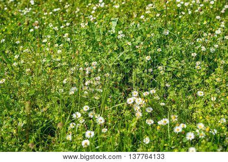field of blooming dandelions in Germany in summer