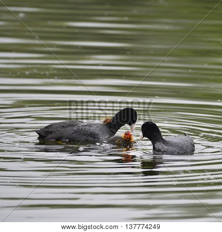 Coot Rallidae Fulica Water Bird Family Swimming On Lake With Chicks