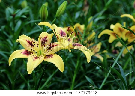 Yellow Lilium Pieton flowers in full bloom