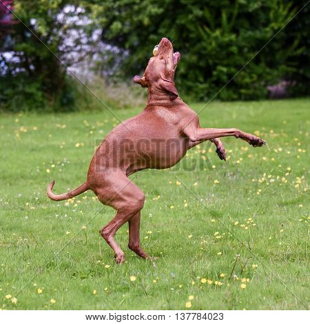 Hungarian Vizsla On Hind Legs Catches Toy