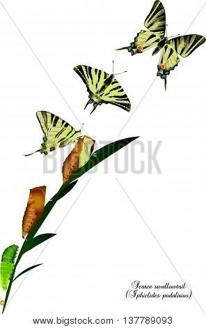 It is illustration of life cycle of scarce swallowtail.