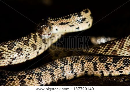 a snake can be hidden and strike at night