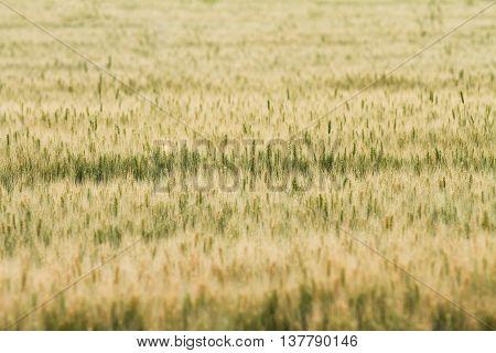 wheat as far as the eye can see
